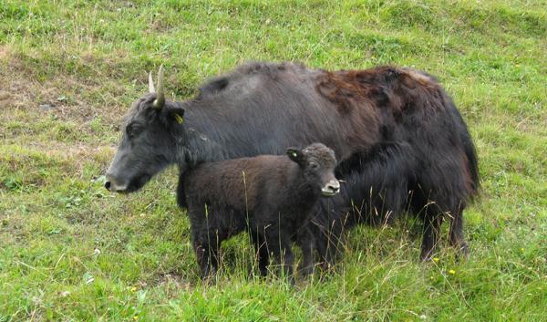 Yak-Kuh mit Kalb